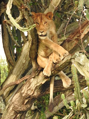 Oh, here's the tree climbing lion Queen Elizabeth National Park