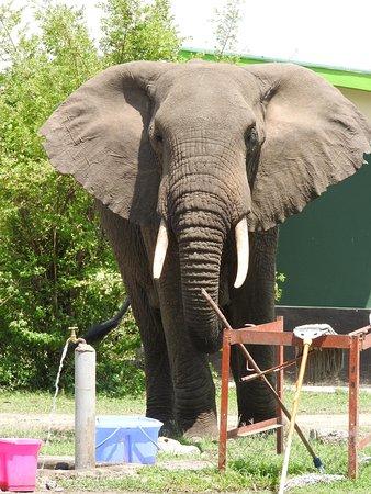The thirsty elephant  Queen Elizabeth National Park near Mweya