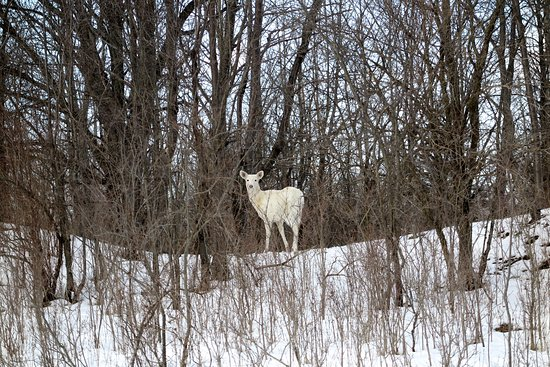 A beautiful white deer watching us