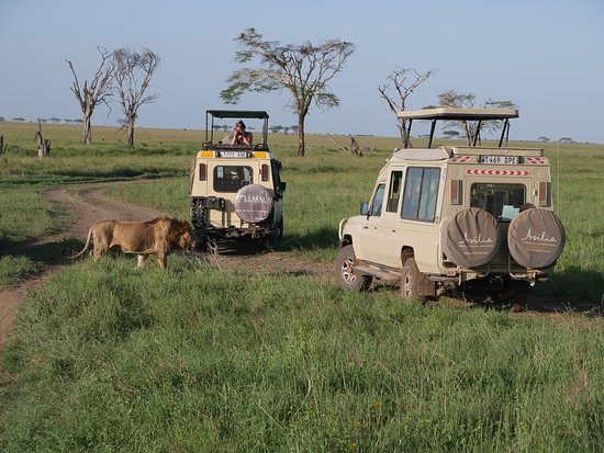 Serengeti National Park, Tanzania: When you have to stop the car because a lions wants to cross...