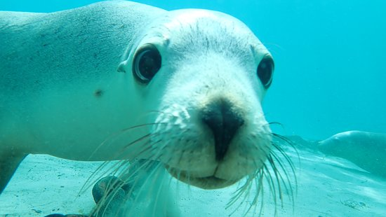 Half-Day Sea Lion Snorkeling Tour from Port Lincoln: Our sea lion tour