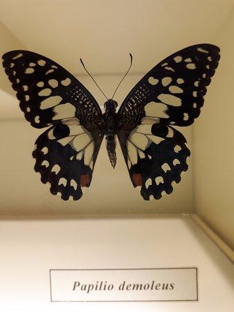 ölü kelebekler özel alanlarda sergileniyor.