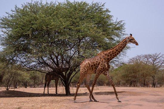 Jirafas en la Reserva de animales de Bandia, en Senegal
