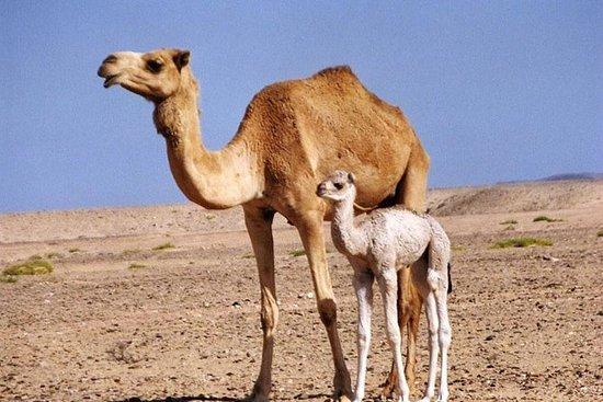 Safari privado Wahiba Sands y Wadi...