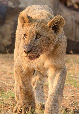 Khakiweed Photographic Safaris: young cub pilansberg