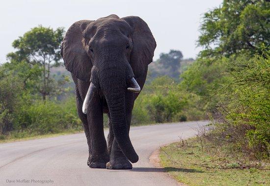 Khakiweed Photographic Safaris: bull elephant kruger