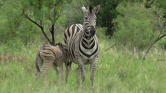 Zebra's all around.