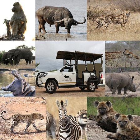 Lion Roar Safaris