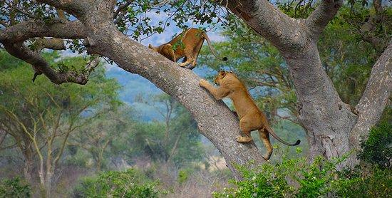 Lion Climbing tree