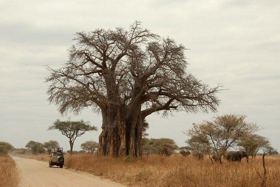 Tarangire Safaris Baobab tree