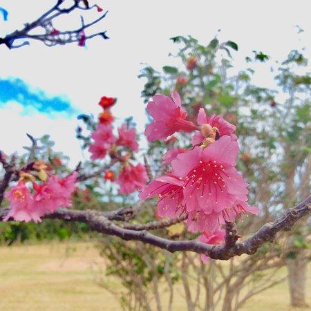 Kumejima-cho, Japan: 2月上旬は花の名所ですよ🌸