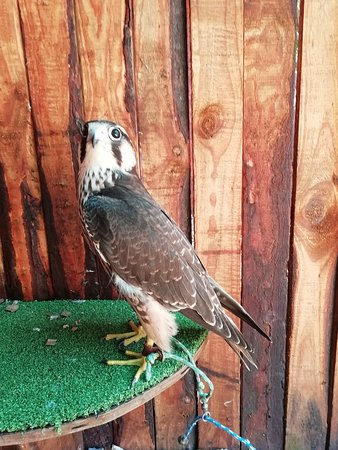 George, South Africa: Juvenile Lanner Falcon