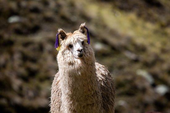 LimaTours: Alpaca in Huancaya, Lima region.