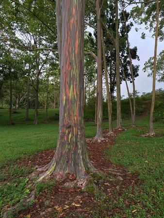 Beautiful Rainbow Eucalyptus tree