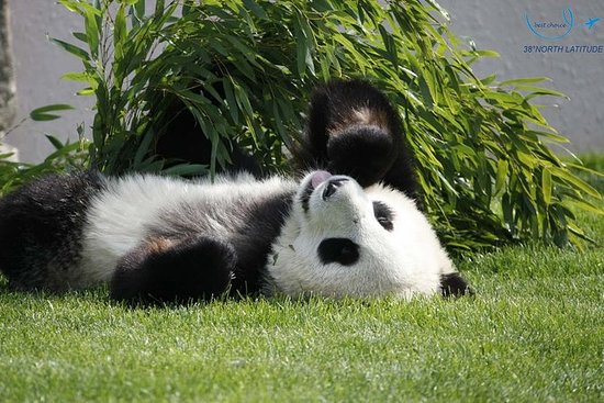 China Dujiangyan - Panda Park...