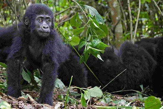 2 dias Uganda Gorilla Trekking Safari...
