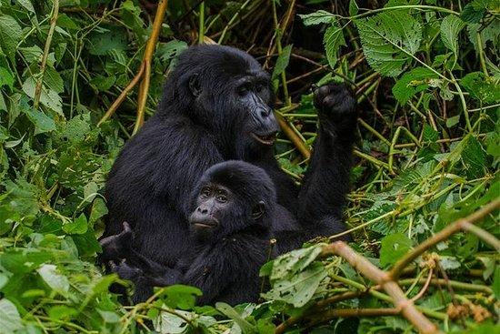 3 giorni di gorilla trek nel parco