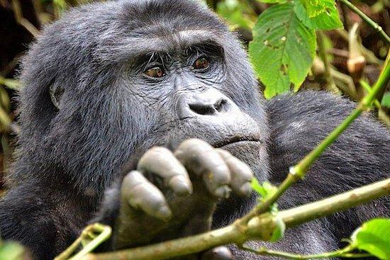2 jours d'excursion de gorilles en...