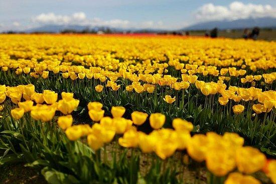 Skagit Valley Tulip Festival and...