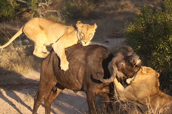Londolozi Private Game Reserve, South Africa: Lion taking down buffalo