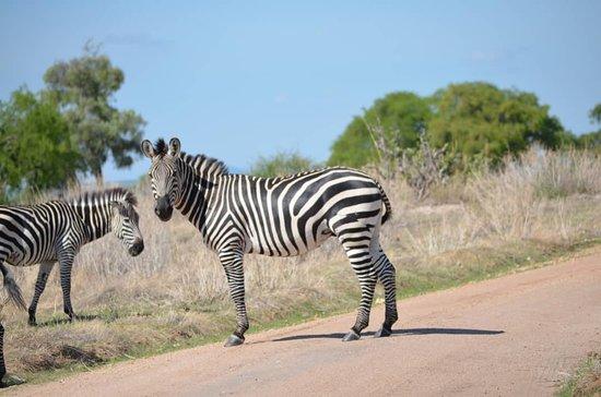 Zebras in Mikumi national park