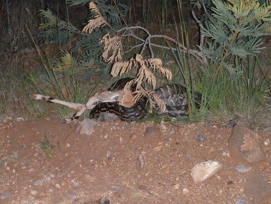 Le python mange l'impala - Picture of Maguga Lodge, Piggs Peak - Tripadvisor