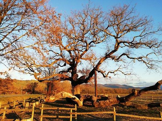 The Checche Oak Tree