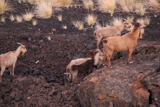 Outstanding Goats In The Lava Below Our Room Picture Of Kings Land By Home Interior And Landscaping Spoatsignezvosmurscom