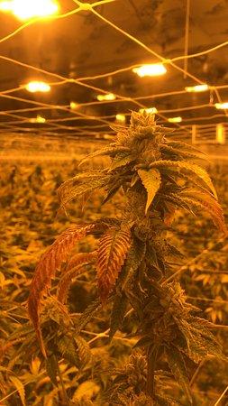 Adelanto, Califórnia: Indoor Cannabis Cultivation Training