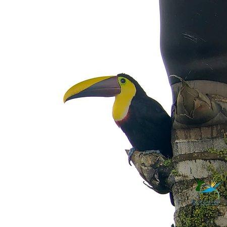 Chestnut Mandibled Toucan  Birding Tours with Bird Paradise Tours  www.mindobirdparadisetours.com