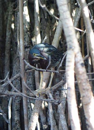 Green heron hiding in the mangroves