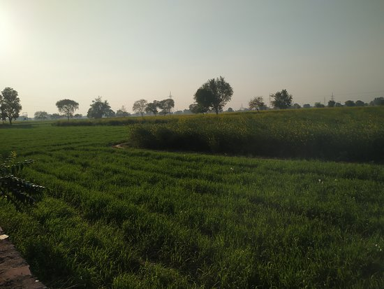 Royal Spices And Tea: Wheat, mustards and potatoes are fully ready.... Good farming this year..