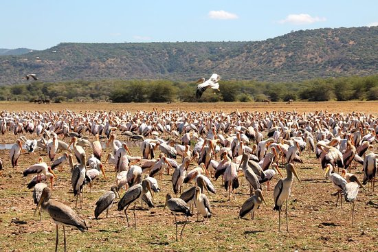 A large flock of yellow-billed Storks have just touched down in Lake Manyara national park, Tanzania. Together with pelicans and flamingoes they occur in large numbers in this wonderful park, conveniently on the way from Arusha to the Serengeti.