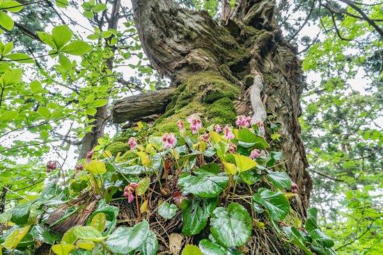Osadoishina Natural Cedar Walking Path