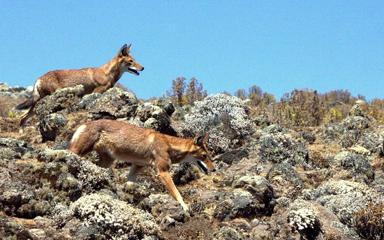 Bale Mountains National Park, Etiopía: Ethiopian wolves photo by MP Marklevitz