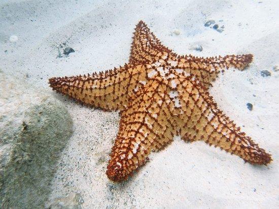 Magnifique étoile De Mer Denviron 30 Cm Picture Of