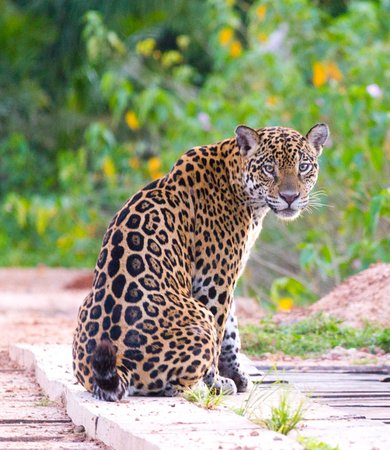 Поконе: This picture of a young female jaguar was taken in one of my tours Poconé Brazil