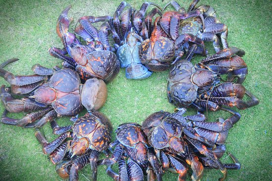 "Ofu, อเมริกันซามัว: Coconut Crabs found on the ""One"" Trail in Olosega."