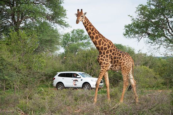 Hoedspruit, South Africa: Enjoy a safari with Twiga Travel.