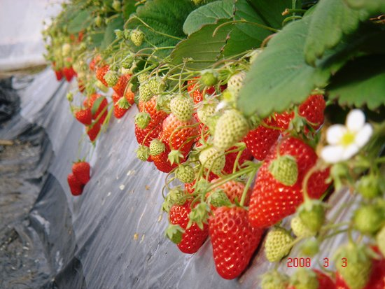 Watanabe Strawberry Farm