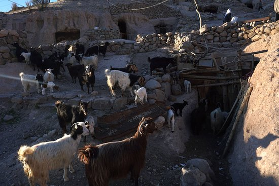 Maymand, Iran: Lovely goats when they return to the village in the afternoon
