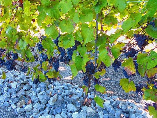 Namur, Belgium: Les vignes du Jardin des petits fruits