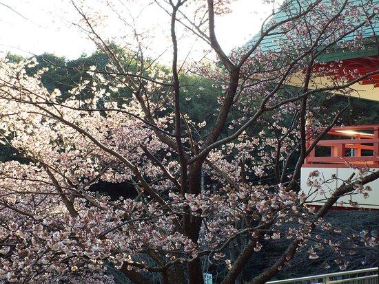 境内の熱海桜は満開でした。