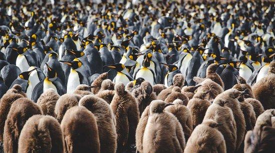 Ανταρκτική: Pinguine - diese faszinierenden Geschöpfe, die nur auf der Südhalbkugel der Erde zu finden sind.  Es gibt sie in ganz klein und in ziemlich groß, in der Antarktis, in Südafrika und sogar auf den Galapagos-Inseln.  Dieser wunderbare Anblick der majestätischen Königspinguine stammt aus dem entlegenen Archipel Südgeorgien in antarktischen Gewässern.
