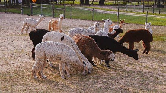 LunaSea Alpaca Farm