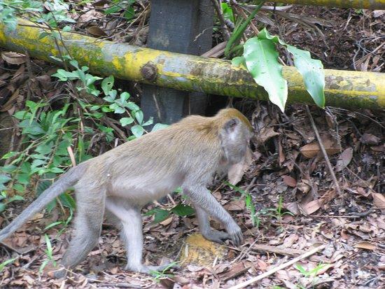 Bukit Timah Nature Reserve: Macaque
