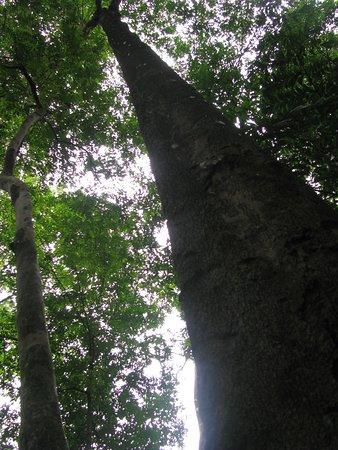 Bukit Timah Nature Reserve: Membuluh