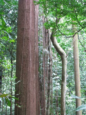 Bukit Timah Nature Reserve: Old Timer