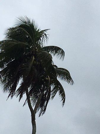 3 Headed Coconut