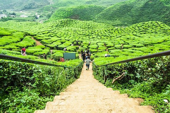 Full Day Tour of Cameron Highlands...
